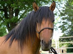 Kiger Mustang--Such a gorgeous Spanish face! I miss my Kiger. :/