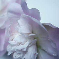 12:16 #photo #photography #picture #flowers #flowerslovers #flowerzdelight #blooming_petals #flowersofinstagram #flowerstalking #softfocus #flowersandmacro #symply_flowers #macrophotography #naturelover_gr #tv_flowers #ig_japan #ig_artistry #great_flowers #bestflowerspics #macro_freaks #macroclique #fs_light #fav_flowers_ #panasonic #lumixg6 #sigma #tv_depthoffield #tv_closeup #japan #sapporo
