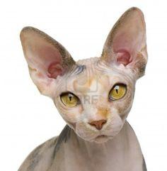 sphynx cat - Google Search