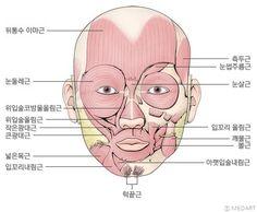정면에서 본 얼굴근육