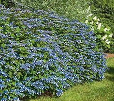 Hydrangeas for Every Garden | White Flower Farm's blog