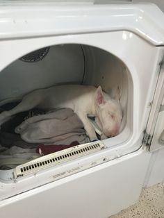 When you can't find your Bull Terrier check the warm clothes in the dryer