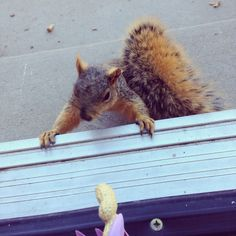 New brown squirrel
