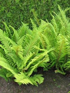 a lower growing, evergreen fern for under the tree fern Shade Garden, Garden Plants, Evergreen Ferns, Japanese Painted Fern, Dry Shade Plants, Planting Plan, Corner Garden, Family Garden, Shade Perennials