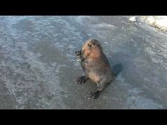 Talking Beaver on the Highway - Your typical friendly Canadian. A beaver on the highway at the Canada US border, welcoming drivers to Canada. He got away fine (and he's not rabid!). Funny animal video