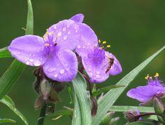 -neuer Gartentraum- Dreimasterblume