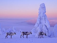 Lapland Finland - Reindeers