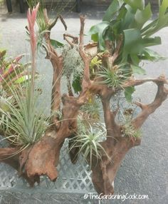 air plants on driftwood - cannot be recommended because of possible salt in the wood, which can damage the plants.