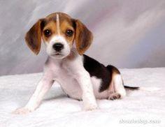 Como educar um filhote de Beagle - 8 passos - umComo