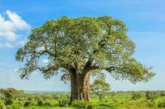Baobab › Anwendung, Wirkung, Ratgeber