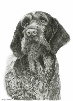 German Wirehaired Pointer    Perfectly capturing the texture of the curly wirehaired coat and that soft puppy nose, this pencil print is the perfect addition to any art collection