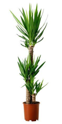 Houseplants for Better Sleep Several Multi Stemmed Yucca Elephantipes Plants All In The Same Pot