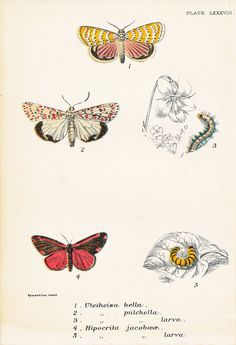 Beautiful Utetheisa Moth, Cinnabar Moth by PeonyandThistlePaper, Pictures Of Moths, More Pictures, Antique Prints, Vintage Prints, Antique Pictures, Handmade Shop, Natural History, Illustration, Butterflies
