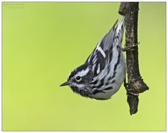 Black and White Warbler - This is another North American pan-tropical migrant, although some birds do spend the winter as far north as the extreme southern U.S. (Florida), northern Mexico and the West Indies. As a breeding species it, like so many warblers, is found in the woods and forest of much of north America, from the Yukon all the way to Georgia, although absent in the far west and arid southwest parts of Canada and the U.S.