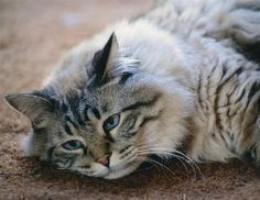 Animals and Safe Aromatherapy - what essential oils to not use around cats. Good to know for when I make air freshners.