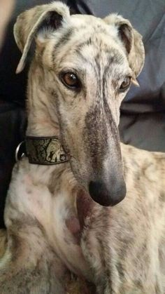 An ancient breed and of the sighthound family. #dogs #pets #Galgos (spanish greyhound)  stunning coat ~