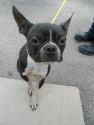 Meg is an adoptable Boston Terrier Dog in Salisbury, NC.  THIS ANIMAL WAS BROUGHT INTO THE SHELTER FROM A CRUELTY SITUATION AND IS SUBJECT TO HEALTH RELATED ISSUES DUE TO THE CIRCUMSTANCES OF ITS PREV...