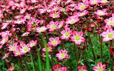 I still grow this in my own garden now. saxifrage-saxifraga-alpine-plants-rockery-succulent-flowering-plants-for-rock-garden Rockery Garden, Shade Garden Plants, Gravel Garden, Flowering Plants, Shade Flowers Perennial, Flowers Perennials, Planting Flowers, Alpine Garden, Alpine Plants