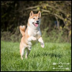 """255 mentions J'aime, 12 commentaires - Kyo (@kyo.shiba.inu) sur Instagram : """"Throwback on a shooting photo 🐶🐾 . . #shibainu #shiba #shibastagram #shibalove #shibadog…"""""""