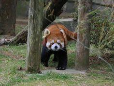 母クルミとコウメ、スモモが3頭仲良く過ごしている中、ティエンはシュララと交代で昼過ぎに出てきました。ティエンは2011年に東北サファリパークで生まれた3歳のパンダで、2012年に来園しました。  Red pandas レッサーパンダ 小熊猫