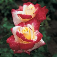 Double Delight - An AARS-winning hybrid tea rose with a spicy scent and bi-color blooms of red and white.