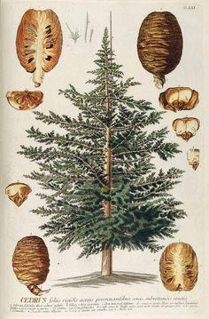 シダーウッド・アトラス マツ科 Cedrus atlantica (Cedar Atlas)Trew, C.J., Plantae selectae quarum imagines ad exemplaria naturalia Londini, in hortis curiosorum nutrit, vol. 7: t. 61 (1765) [G.D. Ehret]