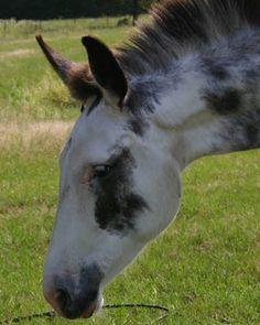 pinto mule - Google Search