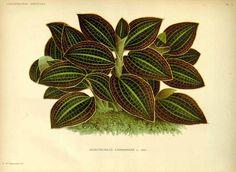 Anoectochilus lansbergiae L.Linden L' Illustration horticole, vol. 34: t. 1 (1887) [P. de Pannemaeker] family:Orchidacea