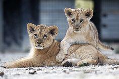 Lion Cubs Make Debut