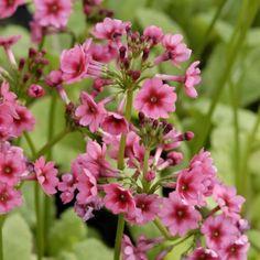Primevère candélabre - Primula japonica Miller s Crimson
