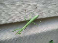 Praying mantis visitor