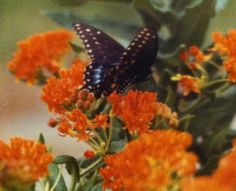 Black Swallowtail on Butterfly Weed (Asclepias tuberosa)   Photo by CS Lent