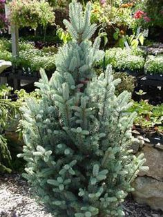 'Fastigiata' Spruce (Picea pungens var. glauca 'Fastigiata')  Get the luxe look of a Colorado blue spruce in a tree that fits into small yards. 'Fastigiata' grows in a tight, columnar shape with a spread of 2 to 3 feet at maturity. It tops out around 15 feet. Needles have that classic blue spruce tint to them. Why we love it: Branches respond well to shearing, so you can keep plants even more narrow