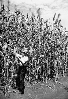 Some Mighty Tall Corn~It's as high as an elephant's eye. Country Farm, Country Life, Country Living, Farm Town, Farm 2, Down On The Farm, Back In The Day, Elephant Eye, White Tractor