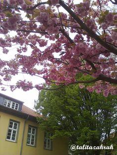 Beautiful cherry flowers in Soest, Germany 2010