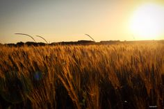 Photo Search the fields of gold by Huiala Andrei on 500px