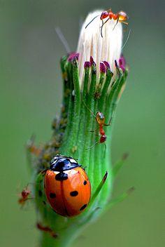 .Ladybug and ants