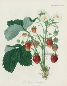 Roseberry Strawberry Heirloom Strawberry Print from Antique Prints of Strawberries, Roseberry Strawberry, Cherry, Brabant Apple, Heirloom Grapes