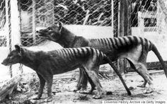 """""""Disease Not a Factor in Tasmanian Tiger Extinction Jan. 2013 — Humans alone were responsible for the demise of Australia's iconic extinct native predator, the Tasmanian Tiger or thylacine, a new study led by the University of Adelaide has concluded. Extinct Animals, Rare Animals, Tasmanian Tiger, Mundo Animal, Fauna, Big Cats, Animal Kingdom, Animals Beautiful, Pet Birds"""