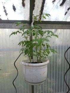 14.06.2014,  die Tomaten wachsen super