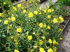 Le Jambon du jardinier, un légume ancien insolite ! | Blog Jardin Alsagarden - le magazine des jardiniers curieux