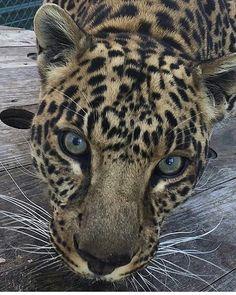 Leopard Photography by @cedarcovefelineconservatory #wildlives