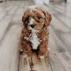 Cavapoo: What To Know About This Stunning Family Dog Small Family Dogs, Best Dogs For Families, Small Dogs, Cavapoo Puppies, Cute Puppies, Cute Dogs, Animals And Pets, Cute Animals, Therapy Dogs