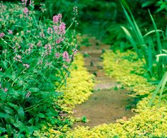 how to grow creeping jenny in pond