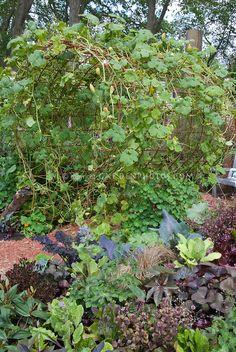 Squashes growing on walk-thru metal arbor in begetable garden