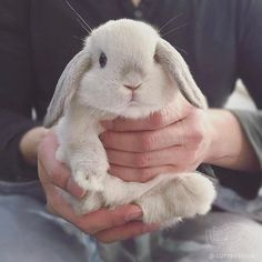 Bring back my bunny to me Lop Bunnies, Cute Baby Bunnies, Cute Babies, Mini Lop, Rabbit Breeds, Bunny Care, Fluffy Bunny, Rabbit Hutches, Pet Rabbit
