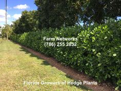 Clusia Hedge South Florida Clusia, Small Leaf, Hedges, South Florida, Plants, Recipes, Food Recipes, Flora, Rezepte