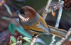 Ludlow's Fulvetta/Brown-throated Fulvetta, Sylviidae family
