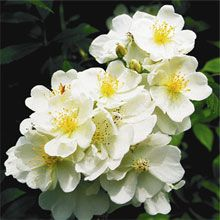 "*Darlow's Enigma - white climbing rose to 10' ft tall.  Unique and highly desirable:  A climber that is a repeat bloomer, disease resistant, very fragrant, and shade tolerant.  Winter hardy and may stay evergreen in zone 7. Has decorative small, red hips in winter.  Perfect for that space between the windows of the garage with a ""custom"" trellis."