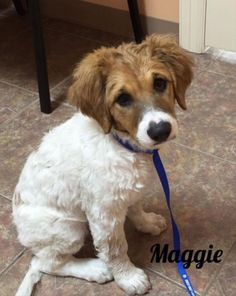 Maggie is an adoptable Labrador Retriever searching for a forever family near South Windsor, CT. Use Petfinder to find adoptable pets in your area.